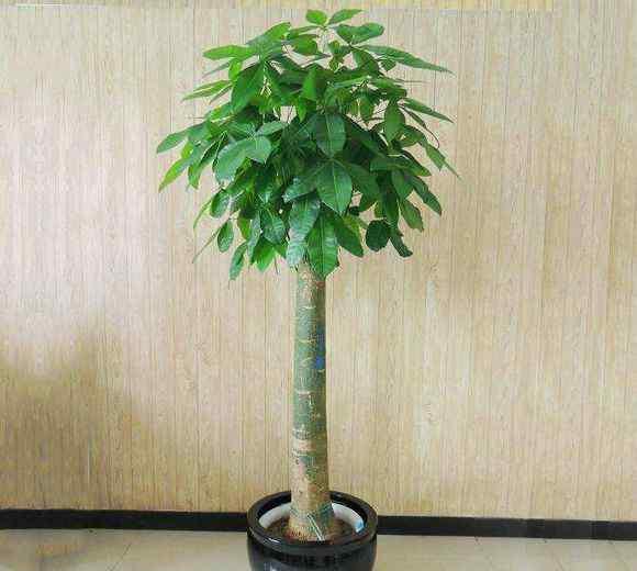 真发财树 发财树真的能让人发财吗 花市老板一句话 道出了真相